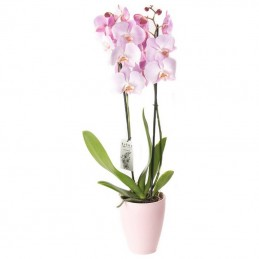 PHALAENOPSIS ORCHID PINK - 60CM - 2 SHOOTS